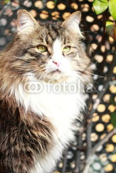 great siberian cat, brown white underground - new on #Fotolia!