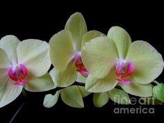 Phalaenopsis Fullers Sunset Orchids on Black No 1