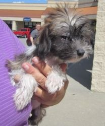 Chinese crested pup is an adoptable Chinese Crested Dog Dog in Kansas City, KS. Please contact Debbie 913-707-5111 ( ffalpets@yahoo.com ) for more information about this pet. Our Forever Friends Adopt...