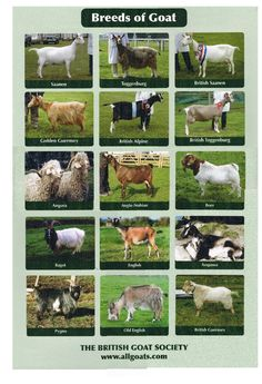 Breeds of GOATS #goatbreeds  https://www.facebook.com/pages/Goat-Lovers/1516802911894015