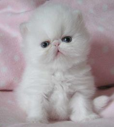 Persian cats on Pinterest | Persian, Persian Kittens and Doll Face