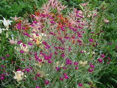 Лихнис корончатый - Лихнис - Травянистые растения для открытого грунта - GreenInfo.ru
