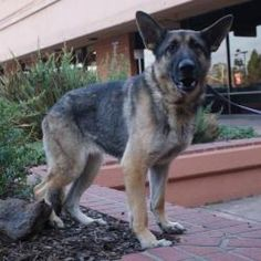 Bee Bee is an adoptable German Shepherd Dog Dog in Concord, CA. BeeBee, a 3+ y/o smart girl is looking for a dog smart human that can give her positive direction. She needs a Shepherd savey person or ...