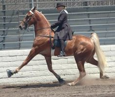Tennessee Walking Horses - it is so amusing how brilliant they think they are. It doesn't even look good. The poor horse has its muscles drained to a pulp and its stride made to disfunction. Stop the cruelty  imbedded in TW horse training.