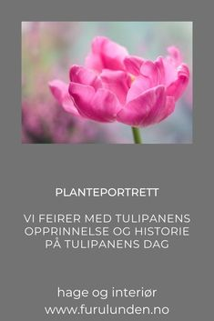 Tulipanens dag: Det er neppe noen blomst som med sitt knitrende bladverk og mange farger og kombinasjonsmuligheter som lokker frem like mange vårfornemmelser som tulipanen. I denne artikkelen får du vite mye om tulipanen. #tulipan #planteportrett #hageinspirasjon #trädgårdsinspiration #tulipanensdag Portrait, Rose, Flowers, Plants, Pink, Headshot Photography, Portrait Paintings, Plant, Roses