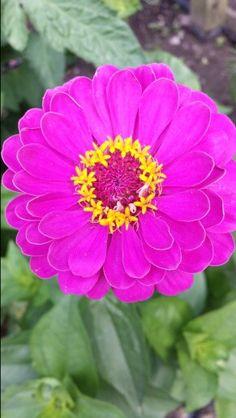 #Zinnia #flower R&L