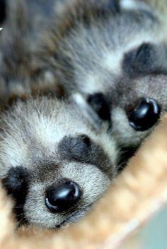 Cutest baby Raccoons taking a snooze ♡♡♡ Baby Racoon, Pet Raccoon, Raccoon Hands, Rocky Raccoon, Animals And Pets, Baby Animals, Funny Animals, Cute Animals, Sleepy