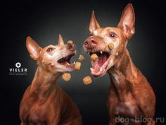 50 фото, на которых собака ловит еду