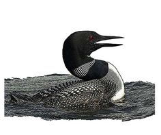 National Bird Project - Canadian Geographic - Vote for Canada's national bird Common Loon Natural World, Ducks, Serenity, Pictures, Canada, Birds, Image, Illustration, Art
