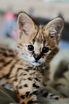 An absolutely stinking ADORABLE baby serval!!!!! Just make me want one all the more already! Ugh! :'(