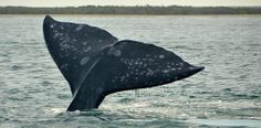 Gray Whale Fluke, Bahia Magdalena, BCS, Mexico