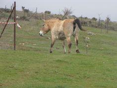 Suelta de caballo salvaje en la zona de Atapuerca. ¿No os recuerda a los de las cuevas de Altamira?