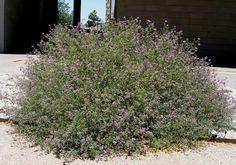 Dalea frutescens. Snowflake (creeping) Sage/Black Dalea. Native evergreen groundcover. Greener, brighter flowers than D. greggii. Tough. Citrus odor. Butterfly larval host. Full sun. Fast grower.