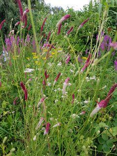 Sanguisorba tenuifolia Planting, Garden, Plants, Garten, Lawn And Garden, Gardening, Outdoor, Gardens, Tuin
