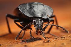 Phosphuga atrata   (European carrion beetle)