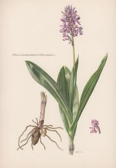1950's Botanical Print Orchis militaris by AntiquePrintGarden