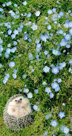 Plump Hedgehog posing for the camera and photographer with beautiful bell shaped cornflower blue flowers ground cover. - FLOWERS BEYOND EXPECTED - Pinned via Animaux by Forget Me Not Studio. All Gods Creatures, Cute Creatures, Beautiful Creatures, Animals Beautiful, Cute Baby Animals, Animals And Pets, Funny Animals, Wallpaper Gratis, Cute Hedgehog