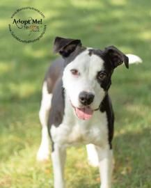 3/20/15 SL Petango.com – Meet Misty, a 3 years 11 months Terrier, American Pit Bull / Mix available for adoption in MARION, IN Contact Information Address 505 S Miller Avenue, MARION, IN, 46953 Phone (765) 618-9293 Website http://WWW.MARIONHUMANE.COM Email manager@marionhumane.com