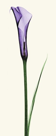 Great tattoo idea, xray calla lily bud