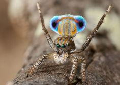 Beautiful Australian Peacock Spiders #naturaleza #fotografia