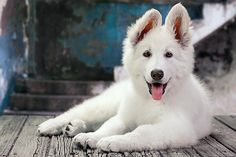 My single most favourite dog breed ever....Swiss Shepherd!