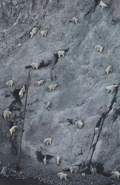 The goat which climbs a precipitous cliff.  断崖絶壁を登るヤギ。  やぎ