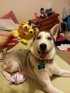 husky! :) eyes the same