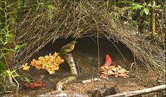 Nest display of Vogelkop bowerbird used to woo female | The Sun |News