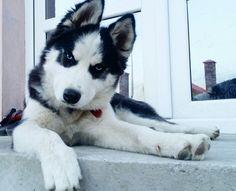 WOLF - My lovely husky ♡♡☆○♡♡