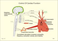 neural control of the heart