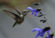 Salvia Black & Blue - Hummingbird Garden Forum - GardenWeb