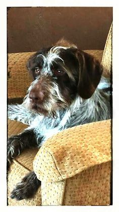Gorgeous german wirehaired pointer