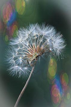 Make a wish...on a dandelion