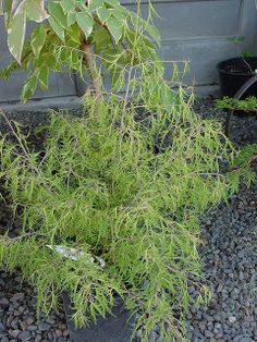 betula pendula 'trost dwarf' | Flickr - Photo Sharing!