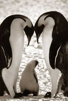 Camimages: Pinguins