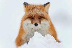 19 Fotos: zorros en el Círculo Polar Ártico son fotografiados por un minero ruso