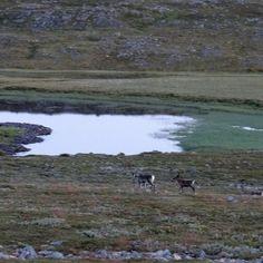 Reindeer near Mehamn, Norway