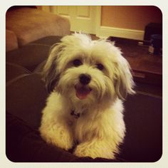 The cutest breed: Havanese!!!