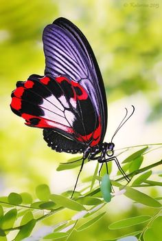 ~Tiptoes ~ butterfly~