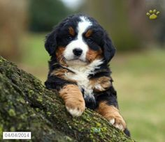 Bernese Mountain Dog Puppy for Sale in Pennsylvania