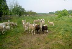 Captain John S. Pope Farm's beautiful sheep are waiting to meet you on the Piedmont Farm Tour
