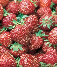 Strawberry, AC Wendy.A great home garden variety, grows well in light or heavy soils.