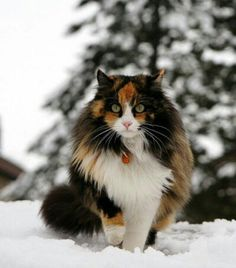 Norwegian Forest cat; her markings are exceptionally beautiful. The orange really makes her lime green eyes pop out~
