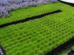 """Sagina subulata.  Moss-like shade ground cover reaches only 1"""" tall and 15+ wide. The soft, cushiony green matt of Irish Moss is covered with 100's of tiny white flowers in spring.  This fast-growing shade ground cover is perfect for edging pathways or planting in between stepping stones where it can handle foot traffic."""