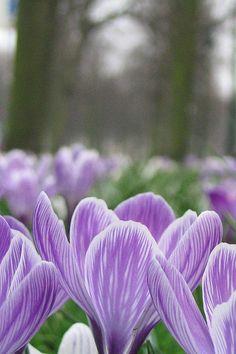 Den Haag Flowers by jremsikjr, via Flickr, Holland