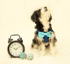 Dog Harness, Bow attached to dog harness, Blue bow with a charm, Live, Love, Laugh, Dog Harness and Bow tie, Dog lovers, Dog birthday gift