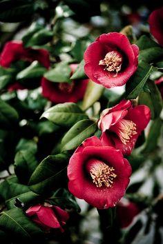 椿 「Tsubaki Japanese camellia Exotic Flowers, Love Flowers, My Flower, Flower Power, Beautiful Roses, Beautiful Gardens, Gardenias, Henri Matisse, Flower Pictures