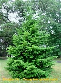 the Douglas Fir is one of the largest trees. The Fir was the first Christmas tree because its great height. Tree In A Box seed kits contain seeds from the Lincoln National Forest. Types Of Fir Trees, Oregon Trees, Douglas Fir Tree, Virginia, Cool Christmas Trees, Evergreen Trees, Garden Trees, Pine Tree, Gardens
