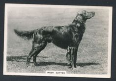 Irish Setter from series Dogs by Senior Service Cigarettes card #1