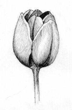 Tulip Pencil Drawing by Kagee Jay, via Flickr